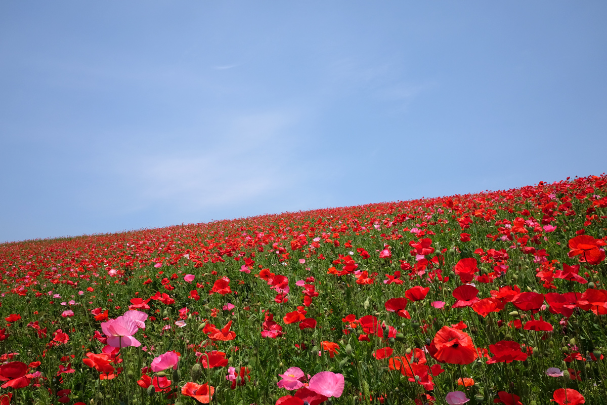Poppies in the Sky Chichibu