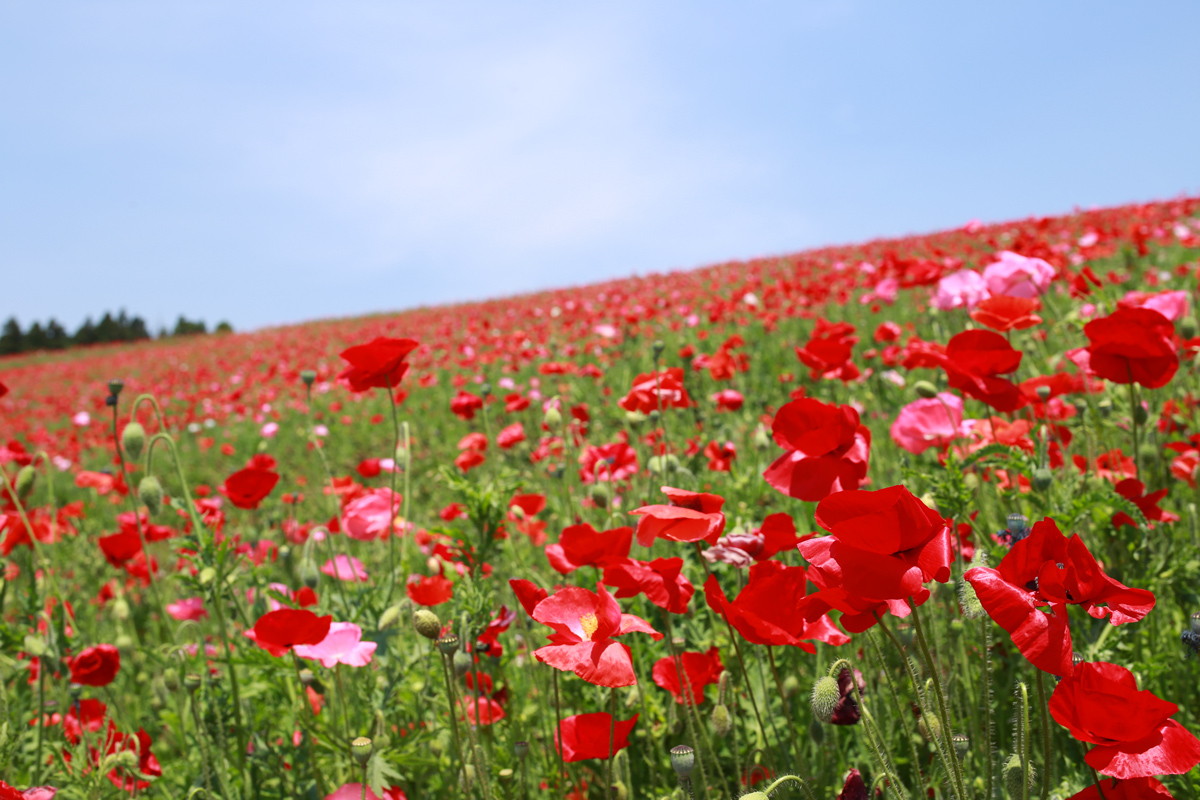 poppies in the sky of japan tenku no poppy 天空のポピー