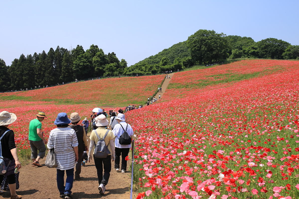 Poppy Garden and Visitors in Chihibu
