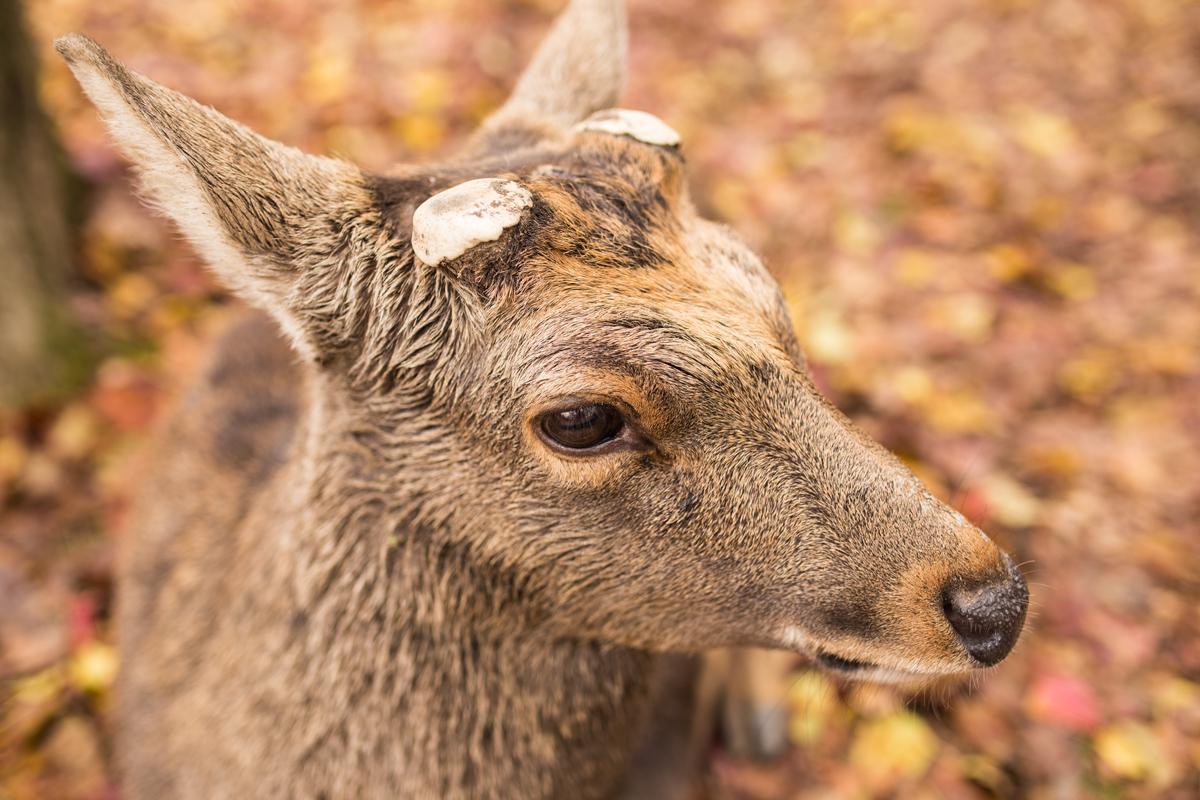 deer-at-nara-park