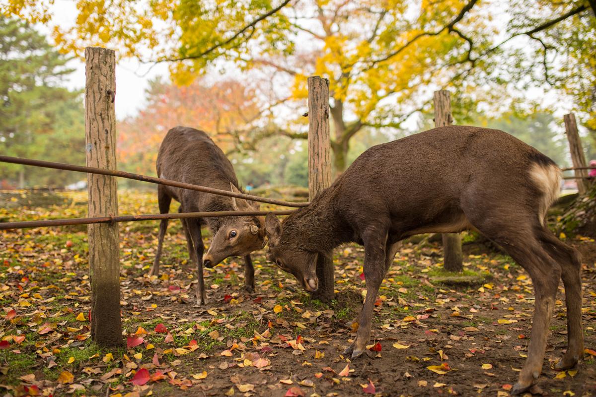 deer-fight