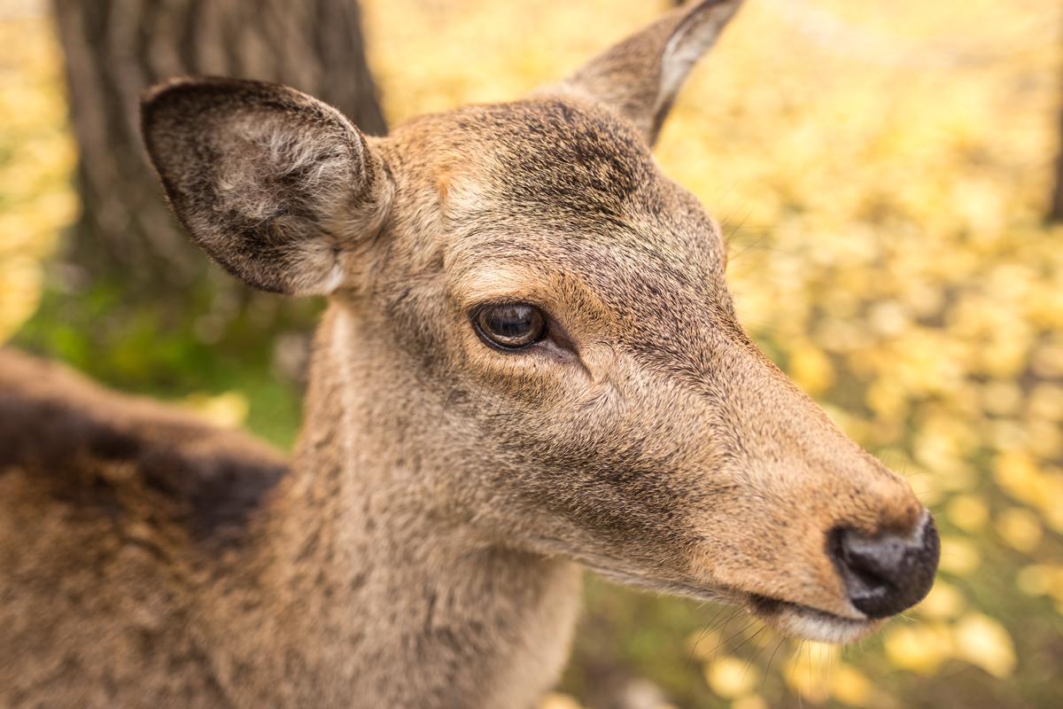 deer-on-ginkgo-leaves