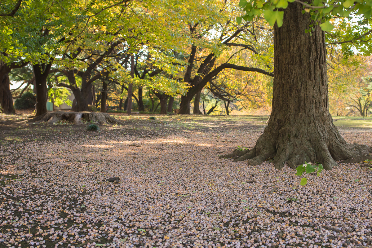 ginkgo-seeds-in-shinjuku-gyoen