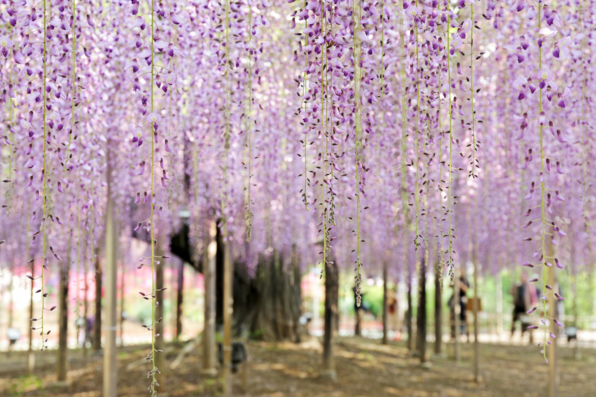 Day Trip to Ashikaga Flower Park