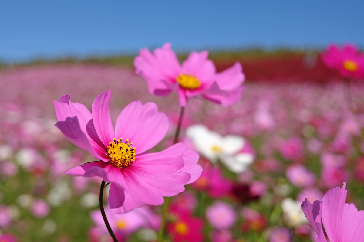Cosmos in Hitachi Seaside Park in Autumn
