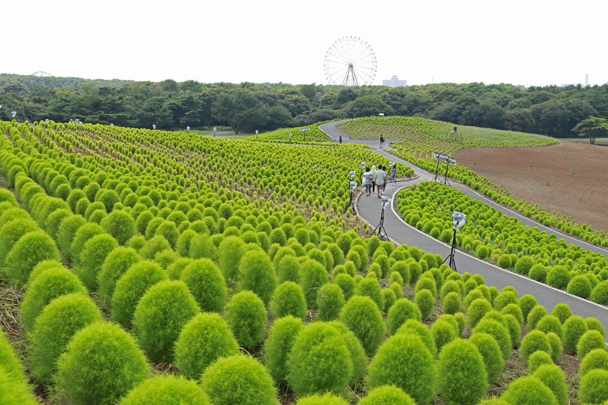 Green Cochia in Summer at Hitachi Seaside Park