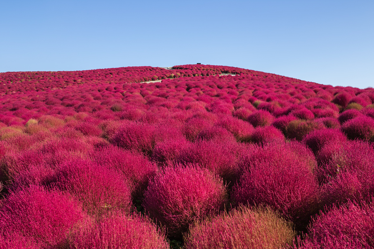 Red Cochia at Hitachi Seaside Park in Autumn