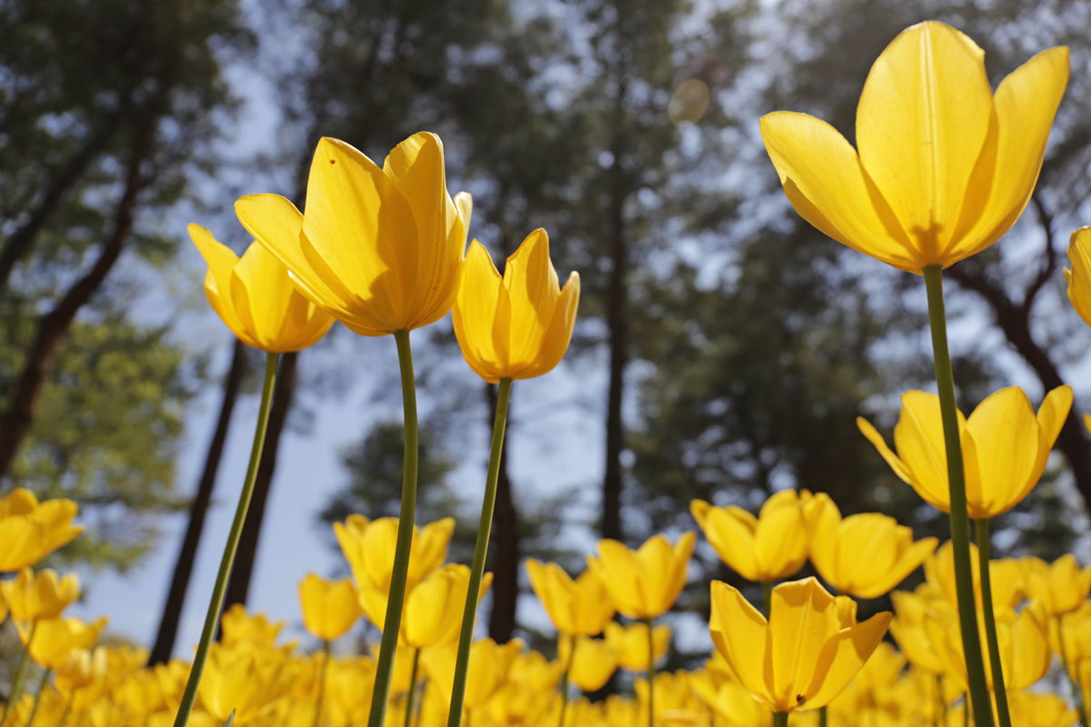 Tulips in Hitachi Kaihin Koen in Spring
