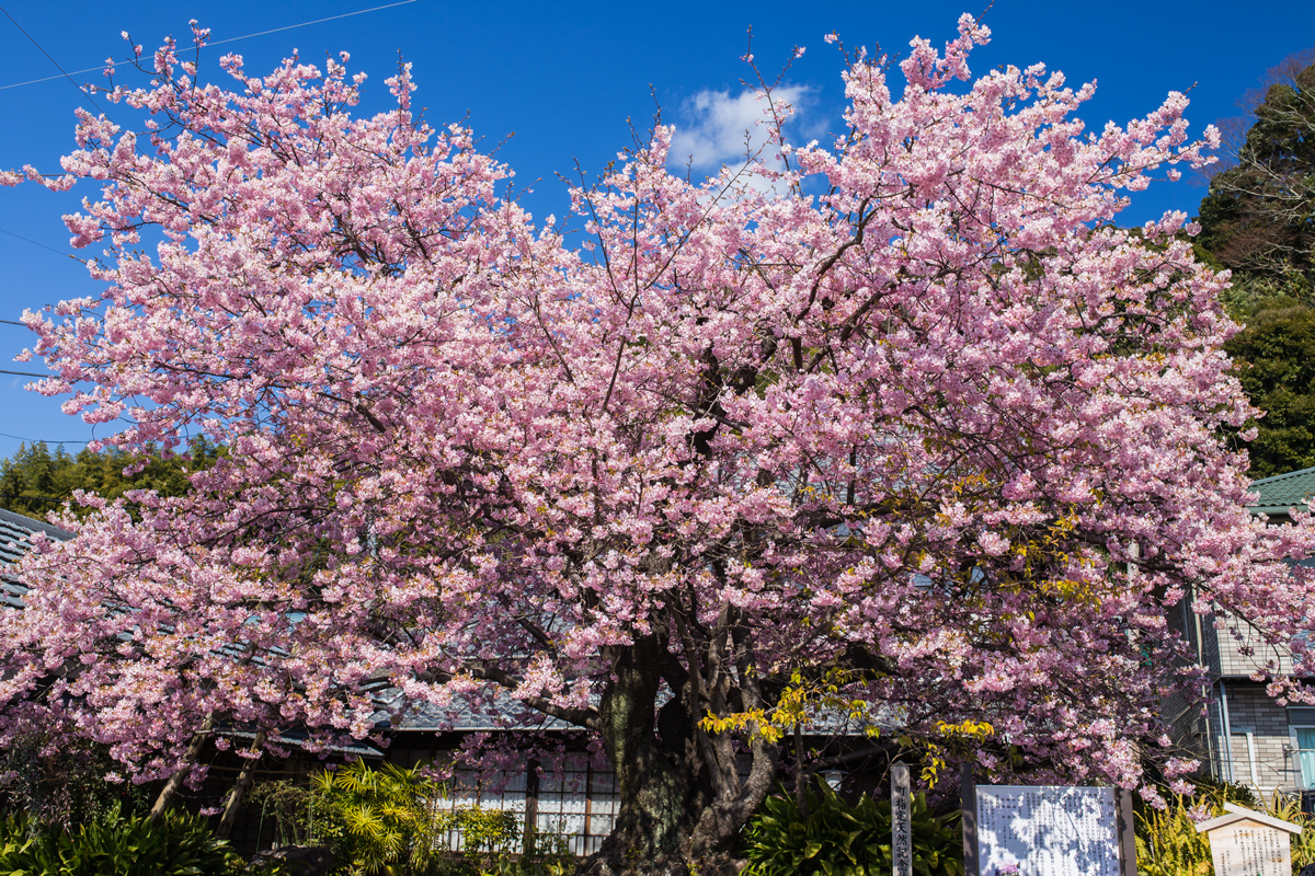 Original Kawazu Cherry Tree