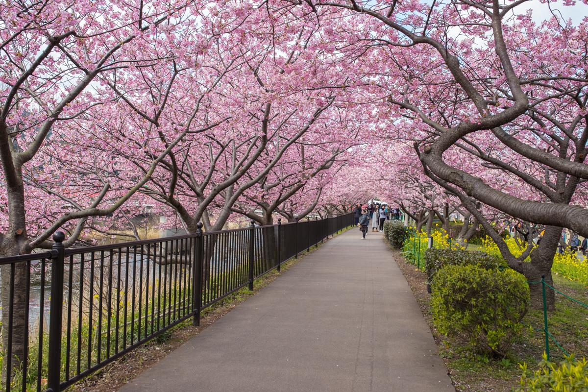 Cherry Blossom Tunnel, Kawazu Town