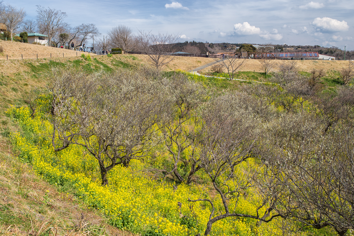 Canola Flowers Field at Mother Farm Chiba