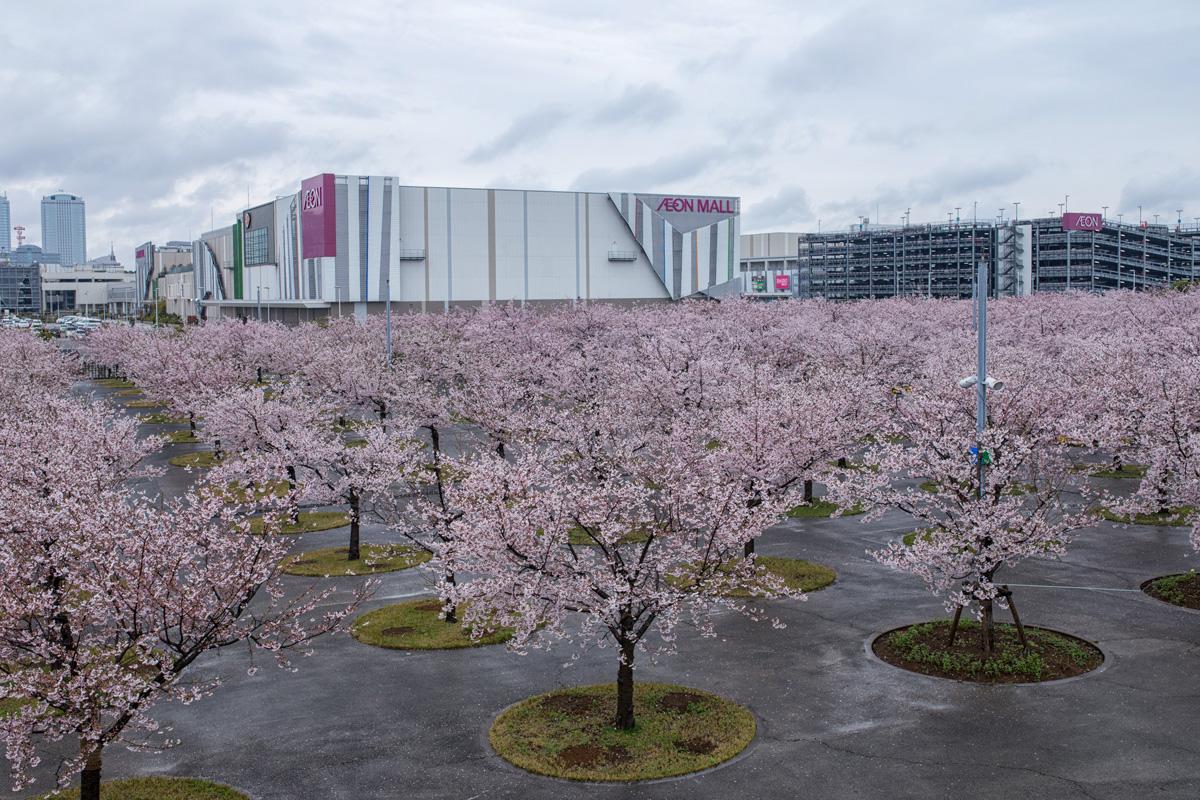 Makuhari Sakura Cherry Blossom