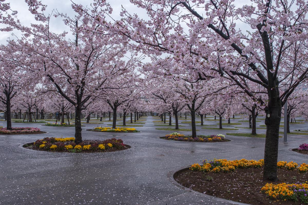 Cherry Blossoms at Sakura Hiroba Makuhari