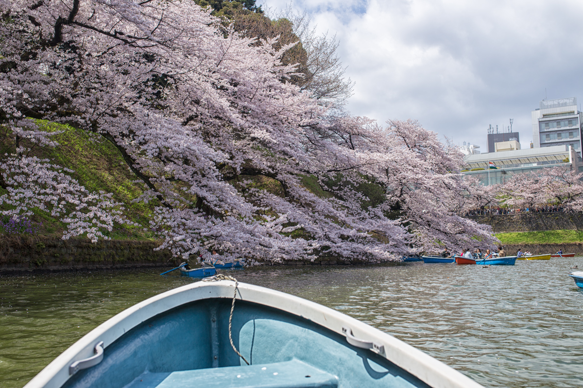 Chidorigafuchi Boat in Spring with Sakura