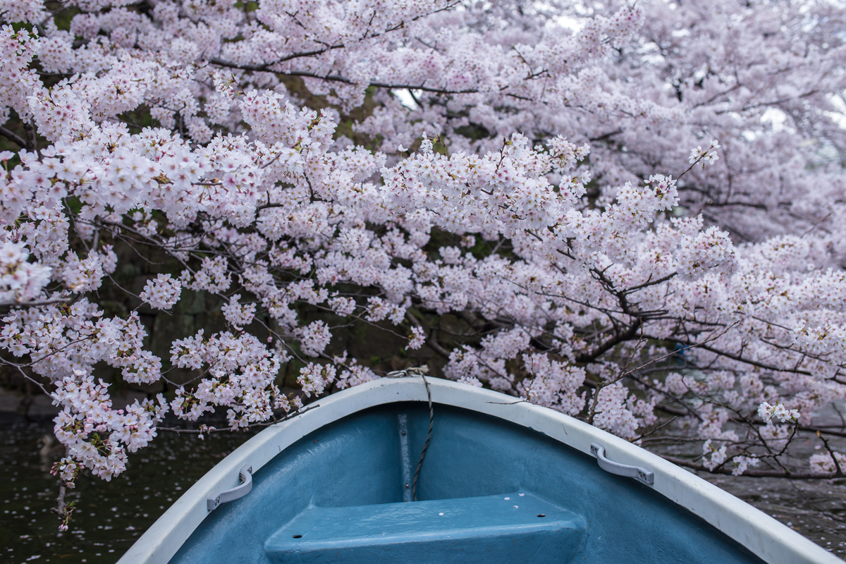 Boat Riding Chidorigafuchi in Spring