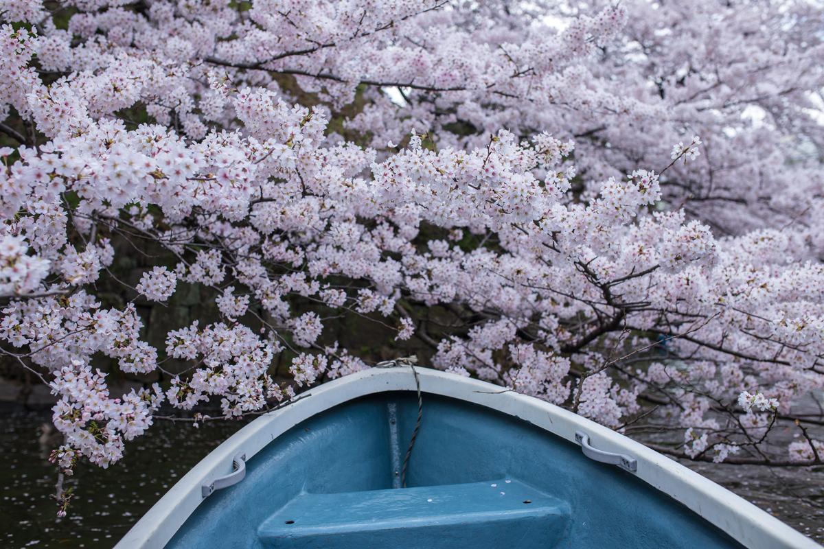 Boat Riding Chidorigafuchi in Spring