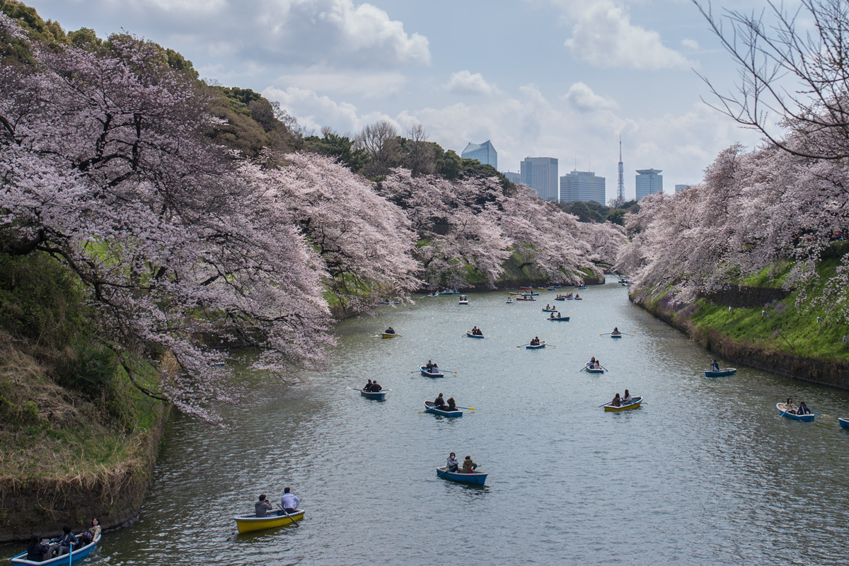 Boat Riding for Cherry Blossom Viewing at Chidorigafuchi
