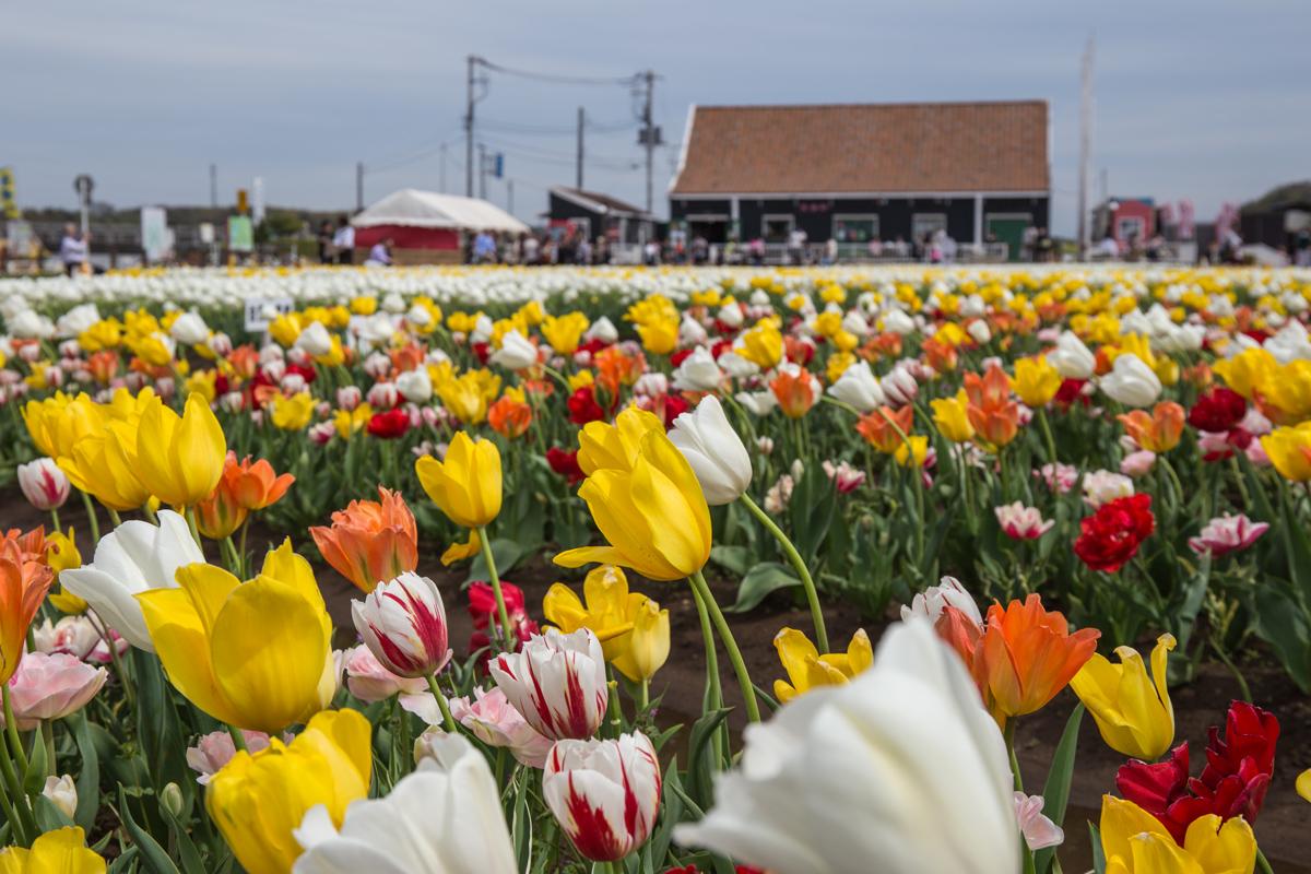 Tulips in Sakura City Chiba