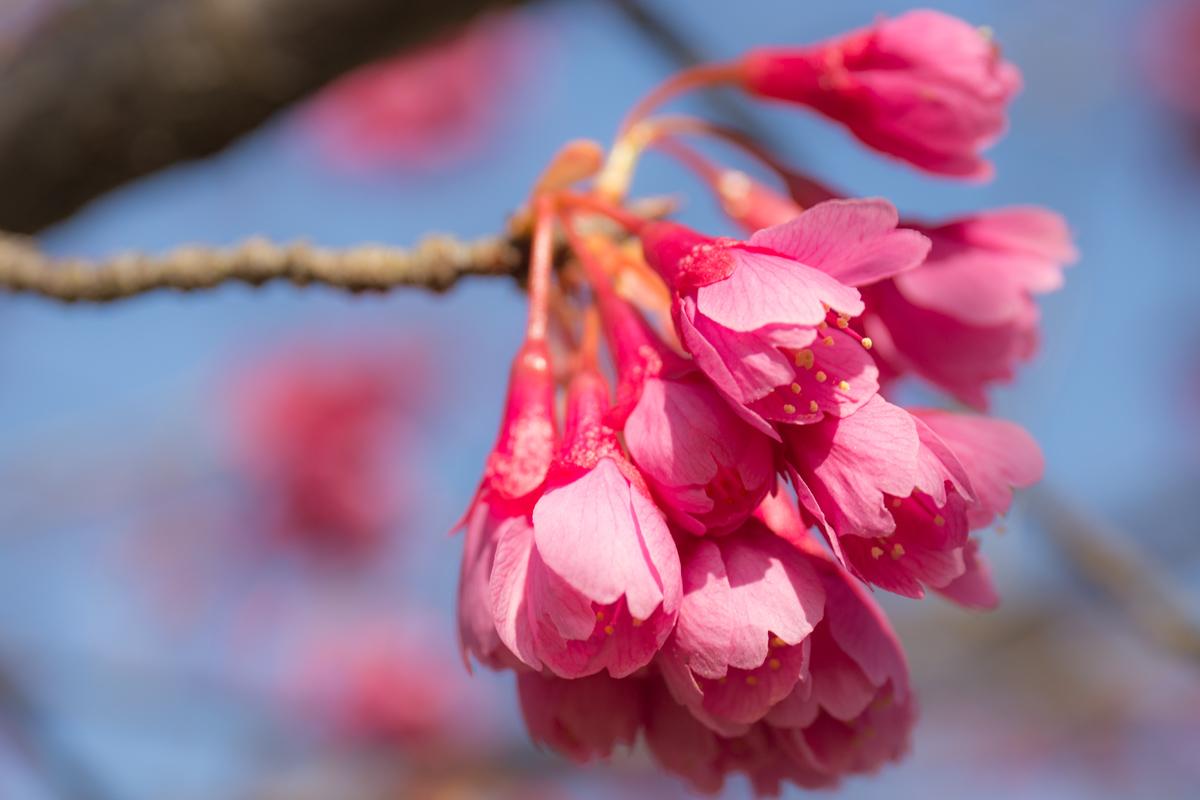 Kanhi Cherry Blossom