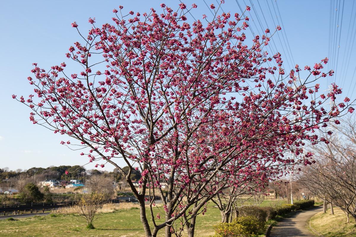 Kanhi Cherry Blossom Tree