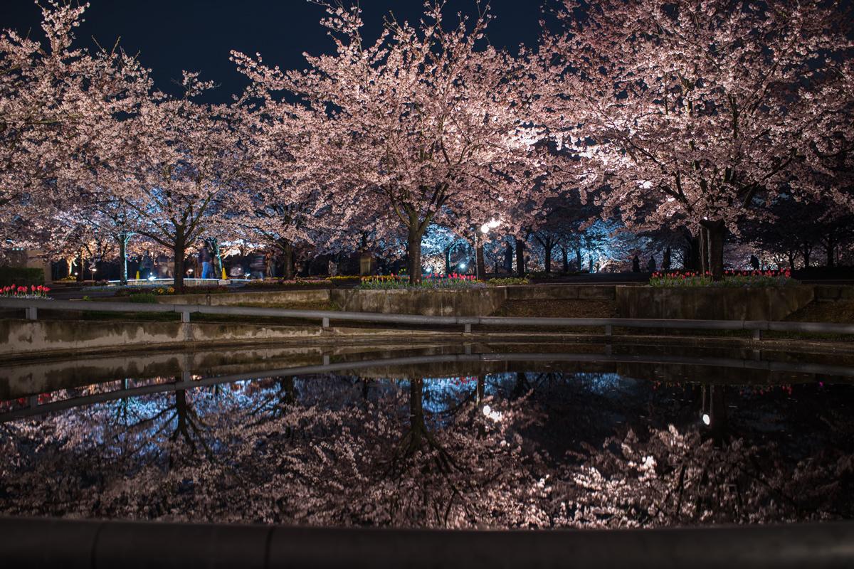 Cherry Blossom Light Up in Makuhari