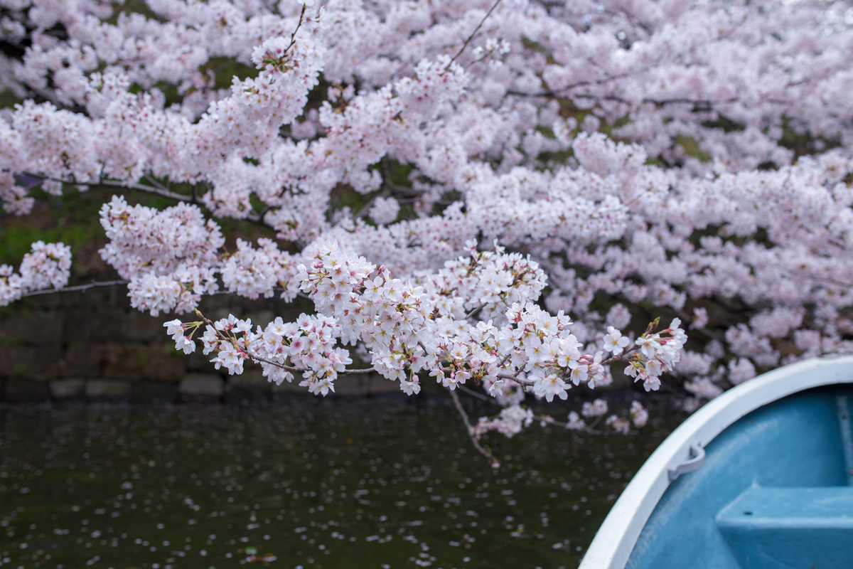 Cherry Blossoms and Chidorigafuchi Boat