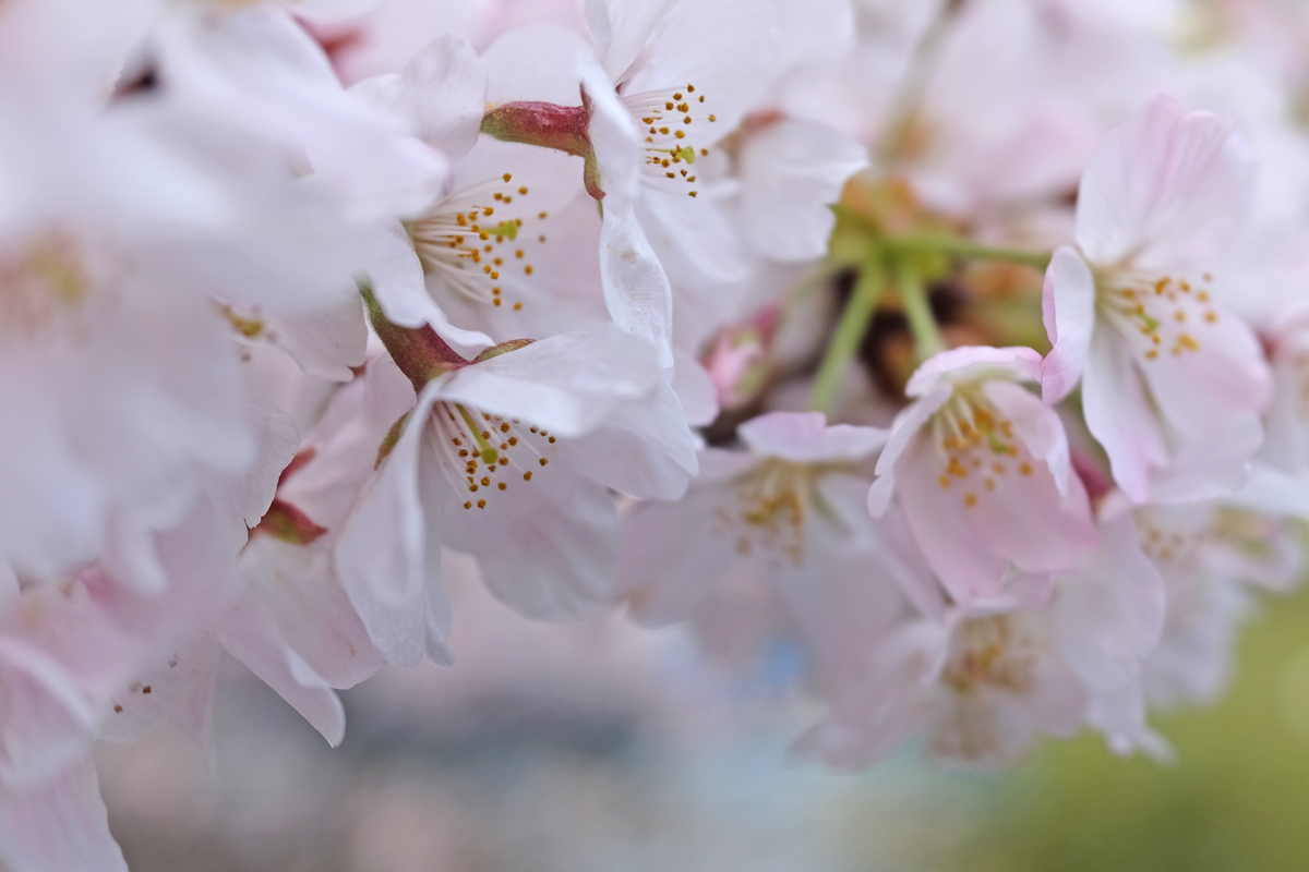 Sakura on the Chidorigafuchi Moat
