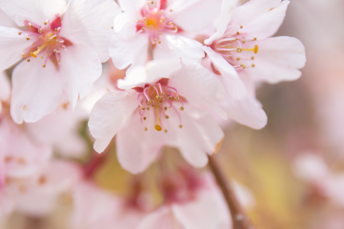 Early Blooming Colourful Cherry Blossom