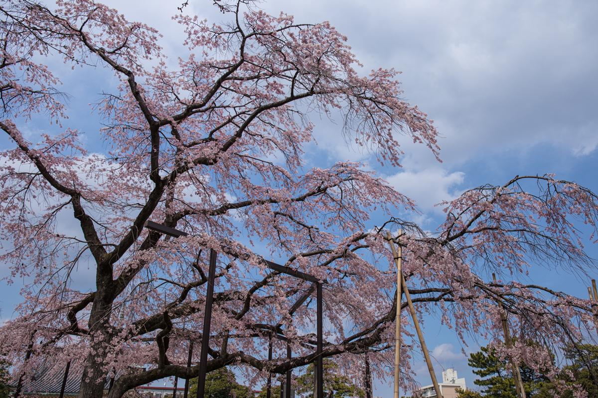Shidare-zakura at Barakisan Myogyoji