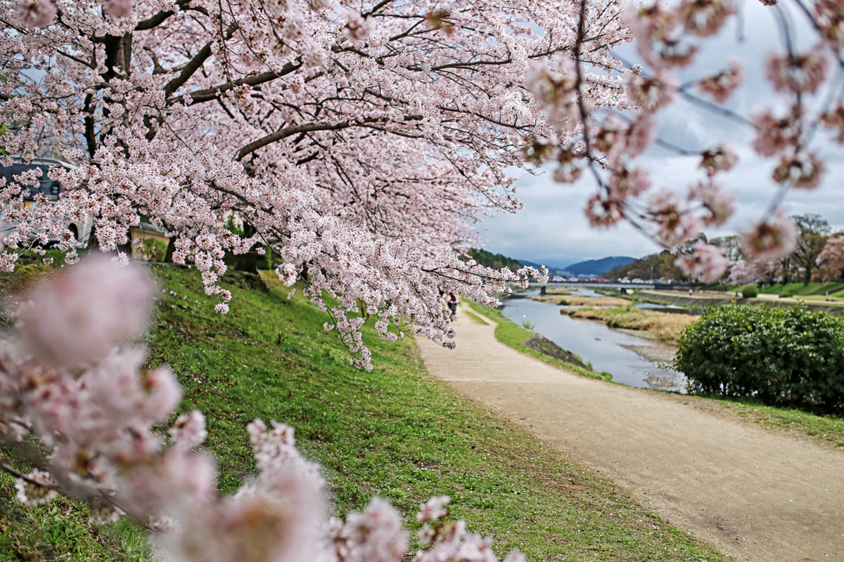Somei Yoshino along Kamogawa River