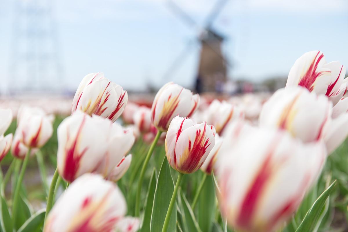 Tulips Chiba