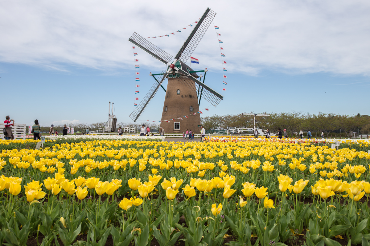Tulips and Windmill at Chiba Japan
