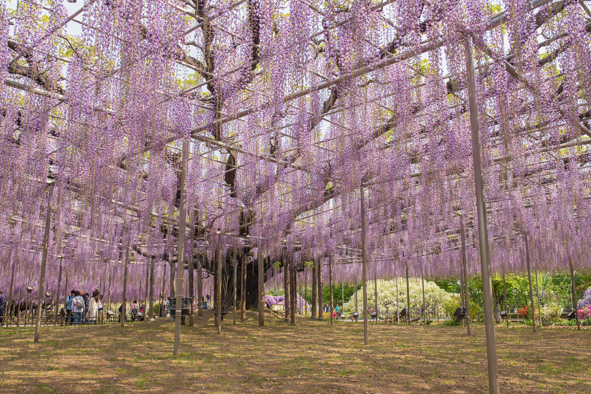 Wisteria at Ashikaga Flower Park Japan