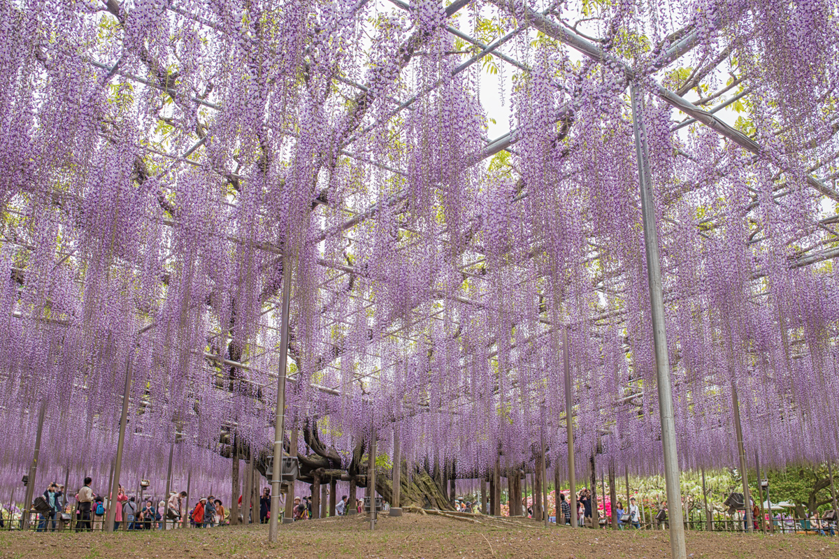 Ofuji Grand Wisteria at Ashikaga Flower Park