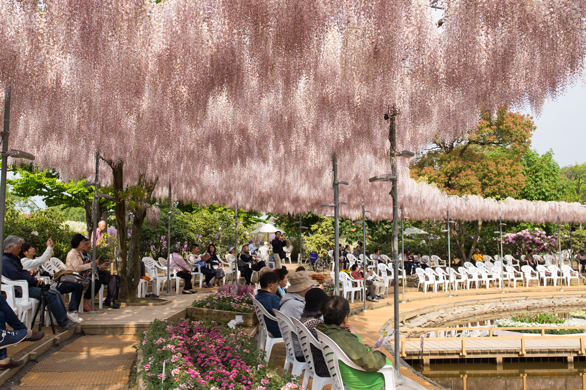 Pink Wisteria at Ashikaga Flower Park