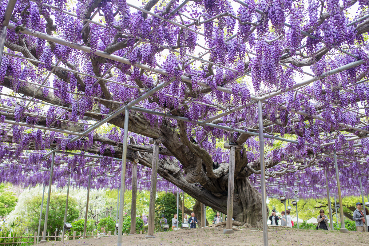 7 top reasons to visit ashikaga flower park tiptoeingworld for The wisteria