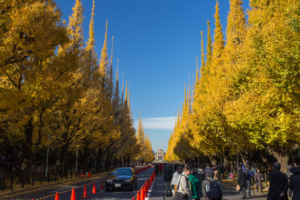 Gaien-mae Ginkgo in Autumn