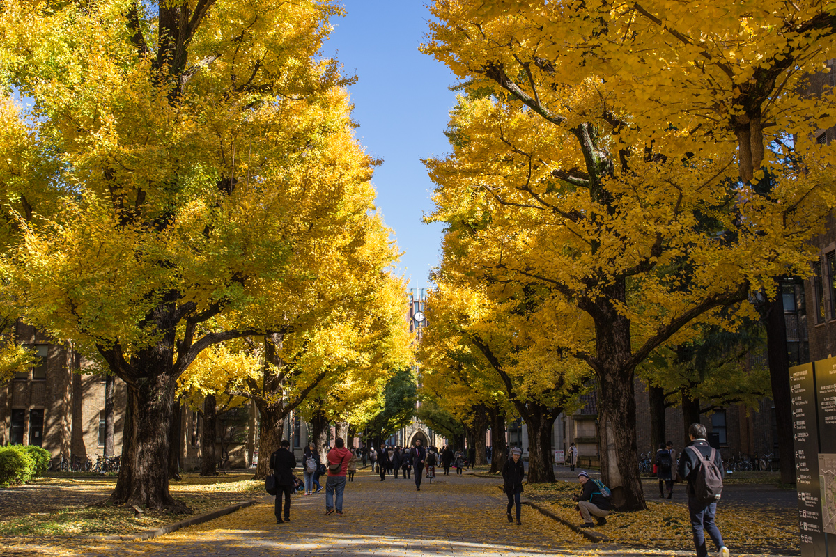 University of Tokyo Ginkgo Trees