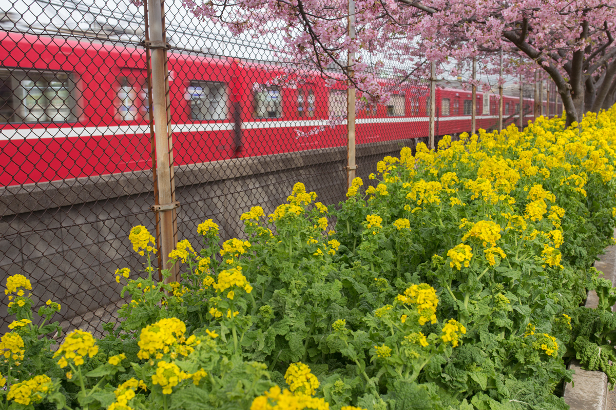 Kawazu Cherry Blossoms, Canola and Keikyu Train
