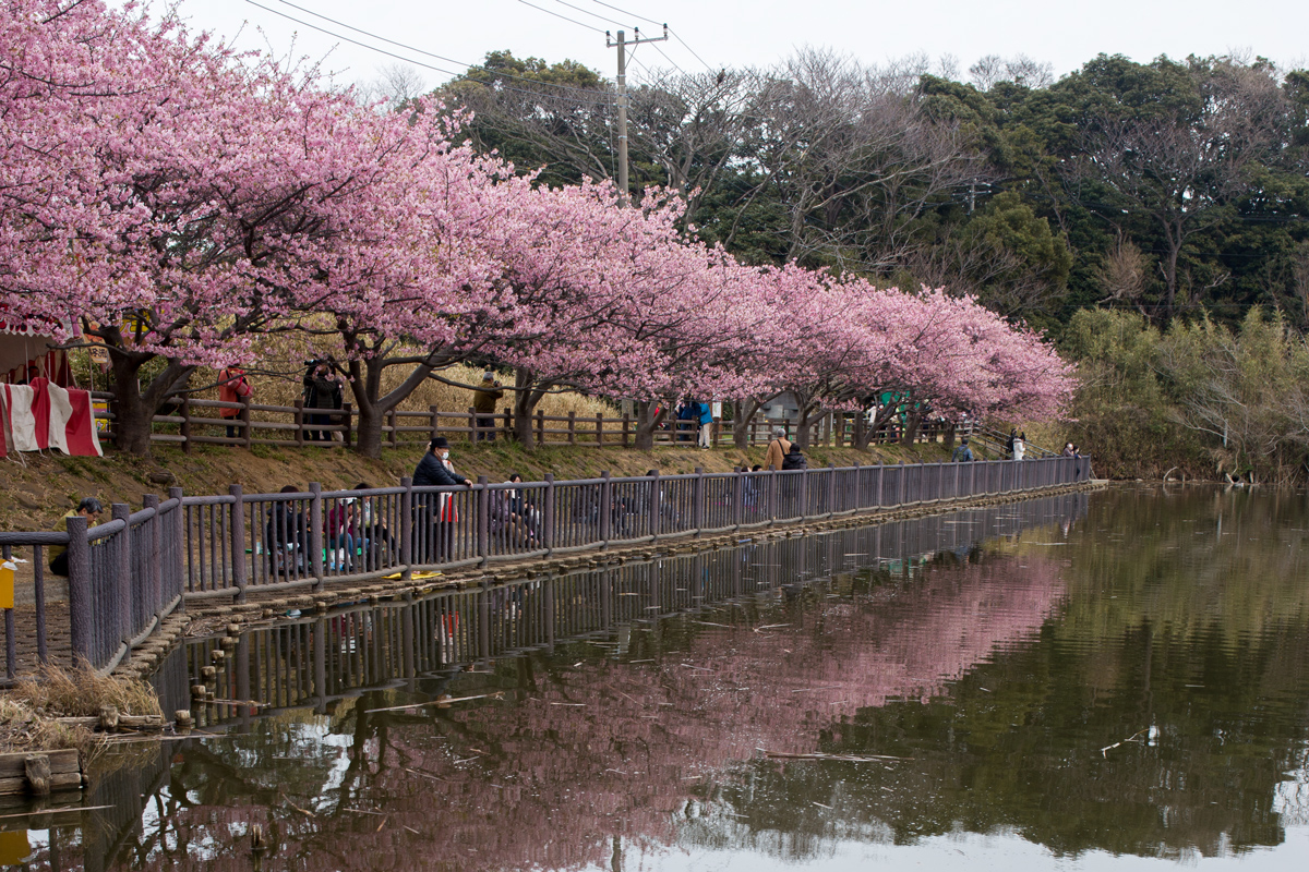 Komatsugaike Pond Kawazu Cherry Blossoms