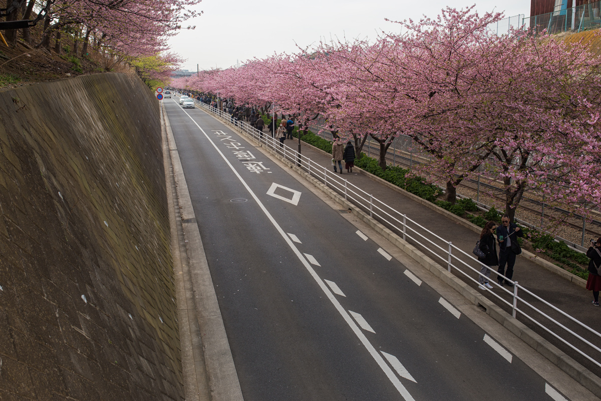 Miura Kaigan Kawazu Cherry Blossoms
