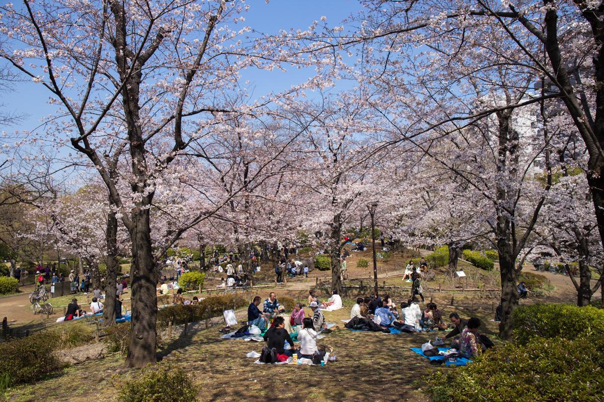 Sumida Park Hanami