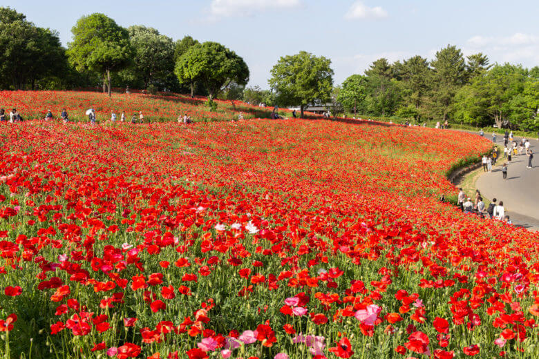 Poppies Flower HIll Showa Kinen Park View