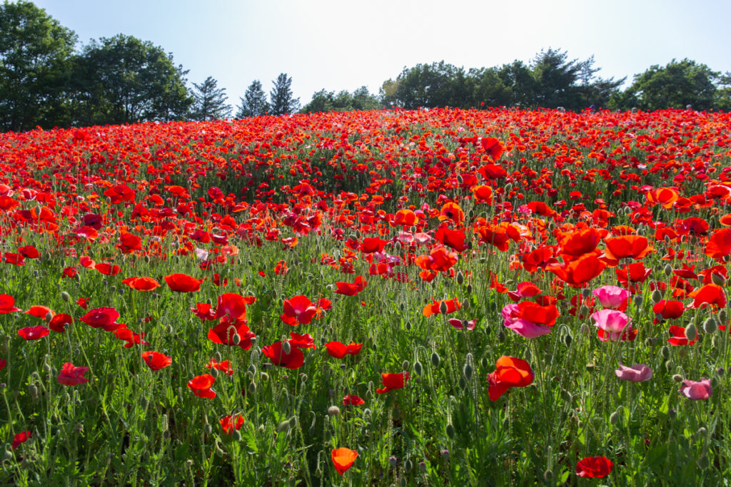 Poppies Showa Kinen Park