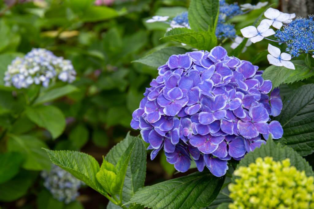 Blue Hydrangea Hakusan