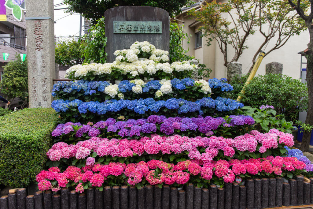 Hakusan Shrine Hydrangea