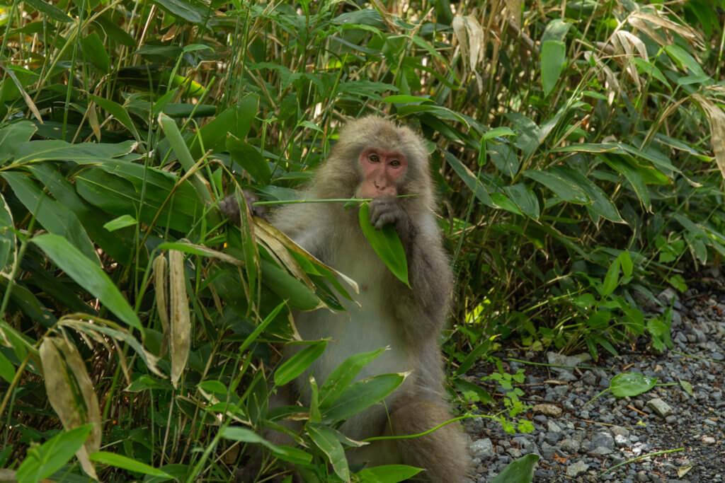 Monkey Kamikochi Nagano