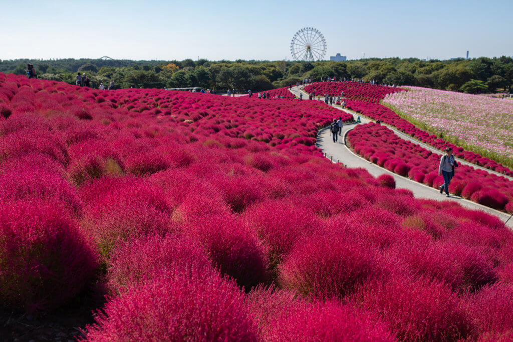 Hitachi Seaside Park Autumn